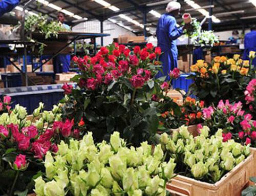 Black Tulip Group acquired James Finlay Kericho flower farm in Kenya